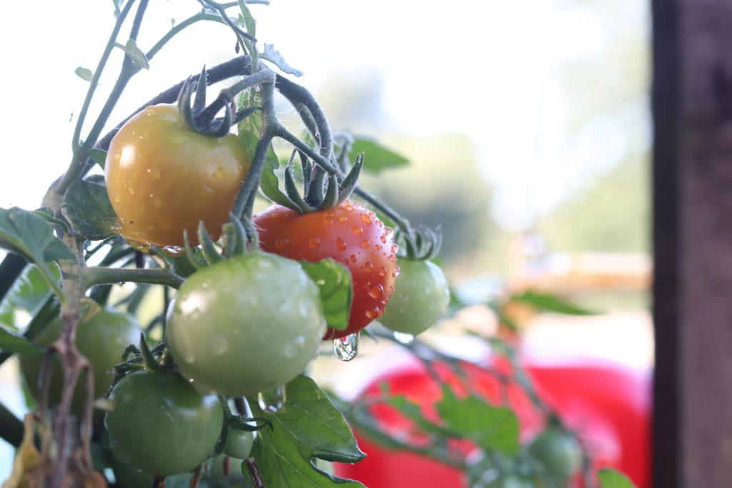 Tumbling Tom tomato